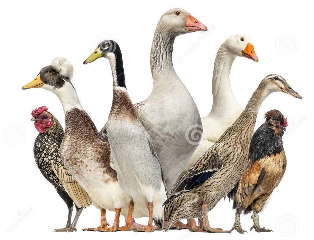 Resolviendo el misterio: ¿qué aves son kosher?